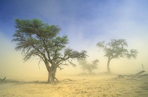Kgalagadi Transfrontier Park, camelthorn and sandstorm, Kalahari, Northern Cape, South Africa, Africa