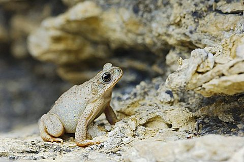 Red-spotted Toad (Bufo punctatus), adult on limestone, Uvalde County, Hill Country, Central Texas, USA