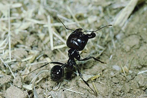 Ant (Formicidae), adult soldier, Crau, South France, Europe