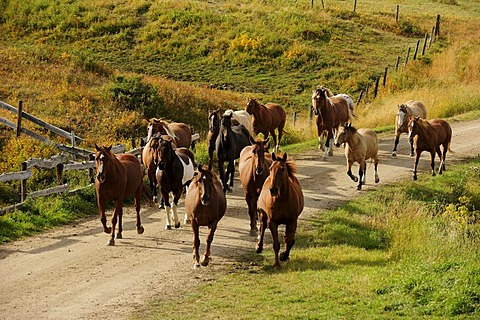 Herd of horses running on a dirt road, Saskatchewan, Canada