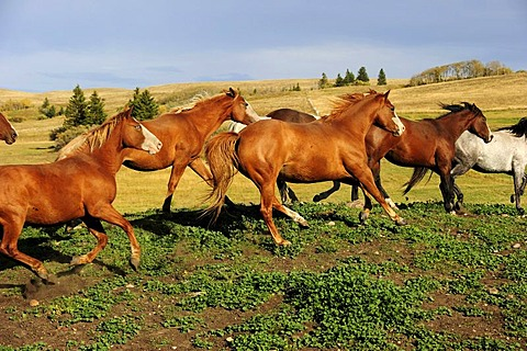 Herd of horses galloping across the prairie, Saskatchewan, Canada