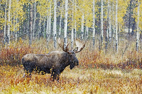 Moose (Alces alces), bull in snowstorm with aspen trees behind, Grand Teton National Park, Wyoming, USA