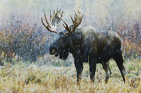 Moose (Alces alces), bull in snowstorm with aspen trees in fallcolors behind, Grand Teton National Park, Wyoming, USA