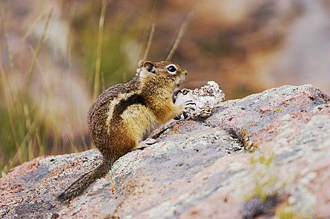 Golden-mantled Ground Squirrel (Spermophilus lateralis), adult eating wild mushroom, Rocky Mountain National Park, Colorado, USA