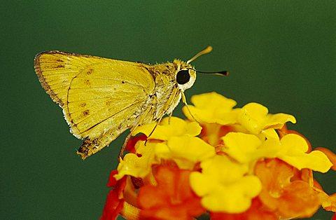 Fiery Skipper (Hylephila phyleus), adult on Texas Lantana (Lantana urticoides), Willacy County, Rio Grande Valley, South Texas, USA