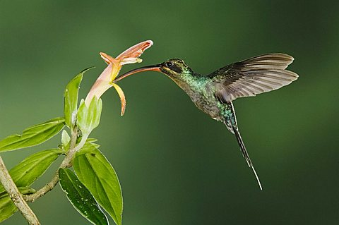 Green Hermit (Phaethornis guy), male in flight feeding on flower, Central Valley, Costa Rica, Central America