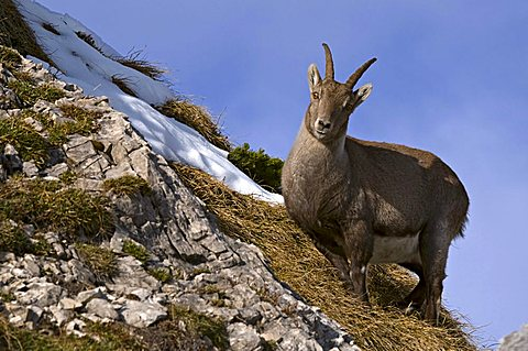 Alpine ibex (Capra ibex), Mondscheinspitze Mountain, Karwendel Mountains, Tyrol, Austria, Europe