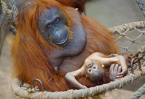 A 23-week old male orangutan baby (Pongo pygmaeus) sitting with its mother in a hammock in the zoo in Muenster, North Rhine-Westphalia, Germany