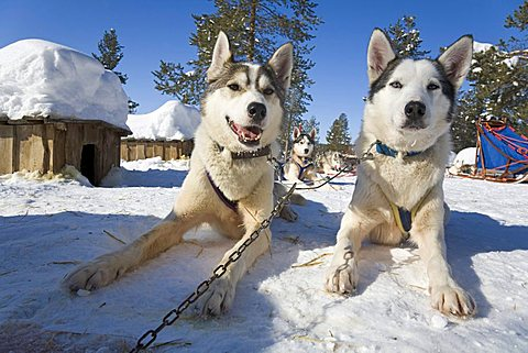 Siberian Huskies recovering during a break on a sled dog tour in Kiruna, Lappland, North Sweden, Sweden