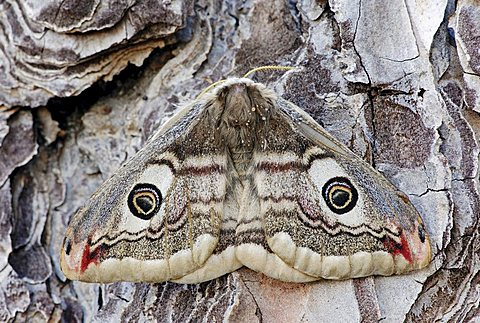 Small Emperor Moth (Saturnia pavonia), female, Provence, South France, Europe - 832-934