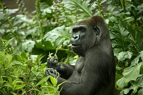 Gorilla chewing on a leaf in the zoo of Melbourne, Victoria, Australia