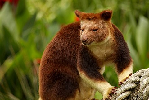 Tree-kangaroo (Dendrolagus) in the zoo of Melbourne, Victoria, Australia