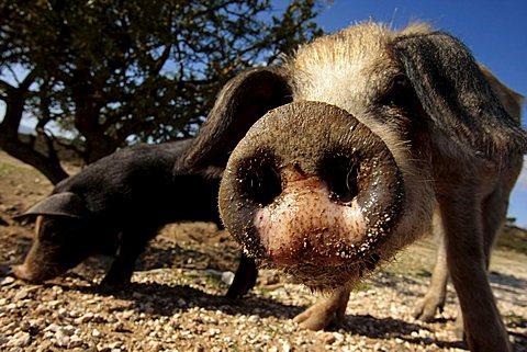 Curious pig, snout, Sardinia, Italy, Europe - 832-9369