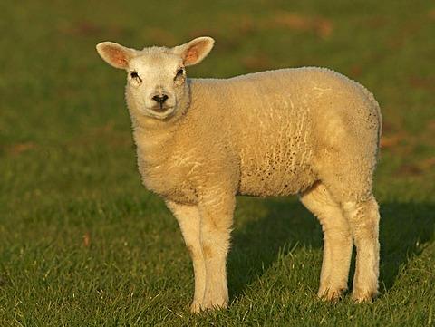 Texel sheep (Ovis Aries), lamb