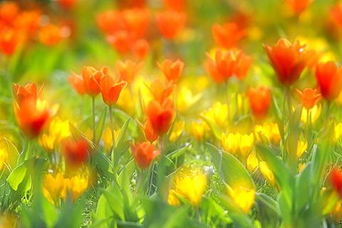 Spring meadow with tulips (Tulipa) and crocus (Crocus)