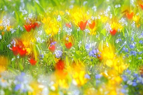 Spring meadow with tulips (Tulipa), crocus (Crocus), and squills (Scilla)