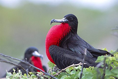 Magnificent Frigatebird (Fregata magnificens), male with bloated, swollen mating breast, Insel Seymour, Galapagos Inseln, Galapagos Islands, Ecuador, South America