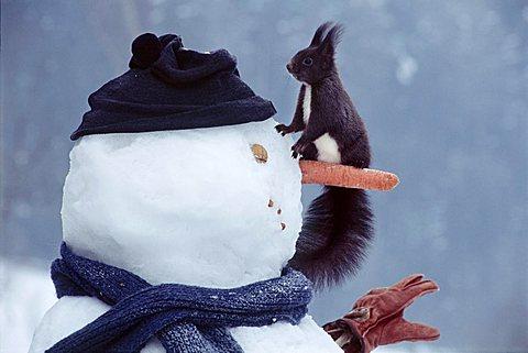 Red Squirrel (Sciurus vulgaris) sitting on a snowman, North Tirol, Austria, Europe