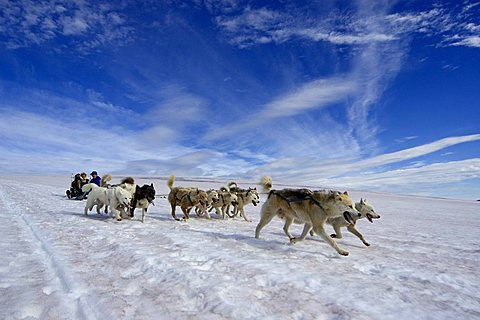 Greenland dogs pulling a sledge over snow, Greenland