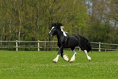 Gypsy Horse or Gypsy Vanner horse (Equus przewalskii f. caballus), trotting stallion