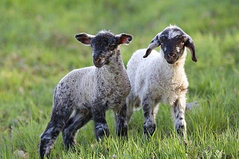 Easter lambs, sheep (Ovis orientalis Aries)
