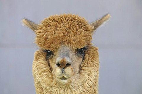 Alpaca (Llama pacos), Arequipa, Inca settlement, Quechua settlement, Peru, South America, Latin America - 832-9784