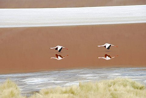 Flamingos, Laguna Colorada, Salar de Uyuni salt desert of Uyuni, Bolivia, South America