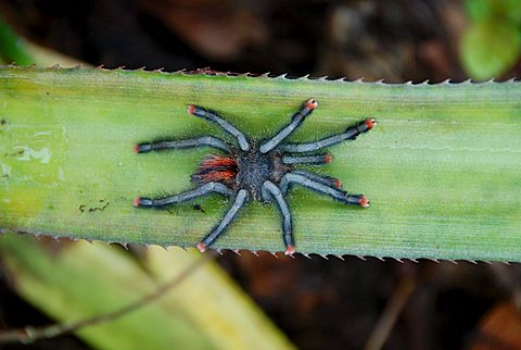 Tarantula (Citharacanthus spinicrus) on a banana leaf, Orinoco Delta National Park, Venezuela, South America