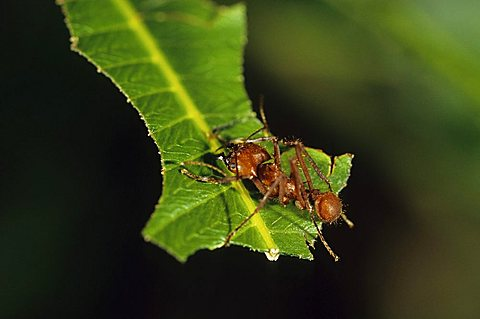 Leafcutter ant (Acromyrmex octospinosus), Nicaragua