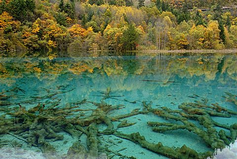 Autumn mood at the turquoise Five Colour Lake with dead trees, Jiuzhai Valley, Jiuzhaiguo National Park, Sichuan, China, Asia