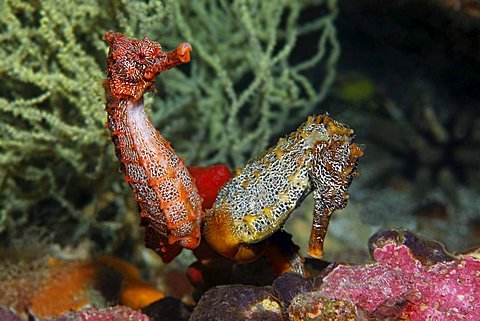 Two Pacific Seahorses (Hippocampus ingens) holding onto a sponge, Cousin Rock, UNESCO World Heritage Site, Galapagos archipelago, Ecuador, Pacific Ocean