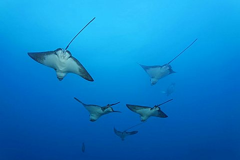 School of Eagle Rays (Aetobatus narinari) in open water, Cousin Rock, UNESCO World Heritage Site, Galapagos archipelago, Ecuador, Pacific Ocean