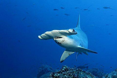Scalloped Hammerhead Shark (Sphyrna lewini) swimming in open water, Darwin Island, Galapagos archipelago, UNESCO World Heritage Site, Ecuador, South America, Pacific Ocean
