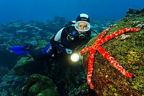 Scuba diver watching Giant starfish (Linckia columbia) on rock overgrown with algae, Cabo Marshall, Galapagos archipelago, Unesco World Nature Preserve, Ecuador, South America, Pacific