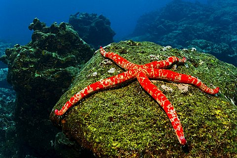 Giant starfish (Linckia columbia) on rock overgrown with algae, Cabo Marshall, Galapagos archipelago, Unesco World Nature Preserve, Ecuador, South America, Pacific