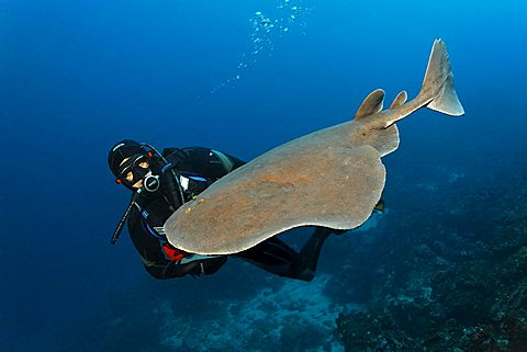 Giant electric ray (Narcine entemedor), electric, dangerous, and scuba diver, Cabo Marshall, Galapagos archipelago, Unesco World Nature Preserve, Ecuador, South America, Pacific