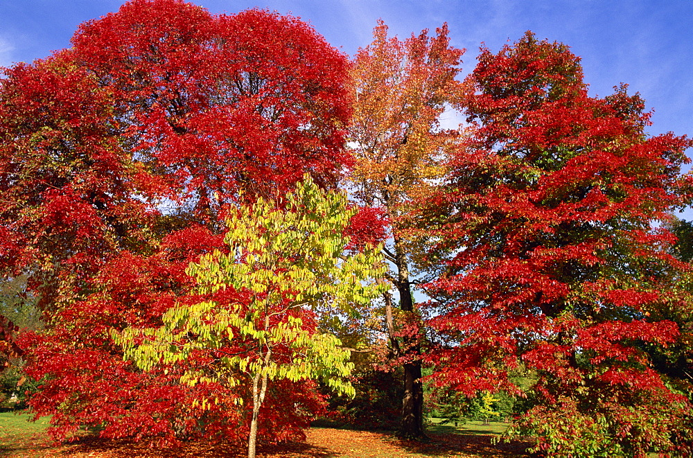 Autumn colours in Sheffield Park Garden, Sussex, England, United Kingdom, Europe - 834-271