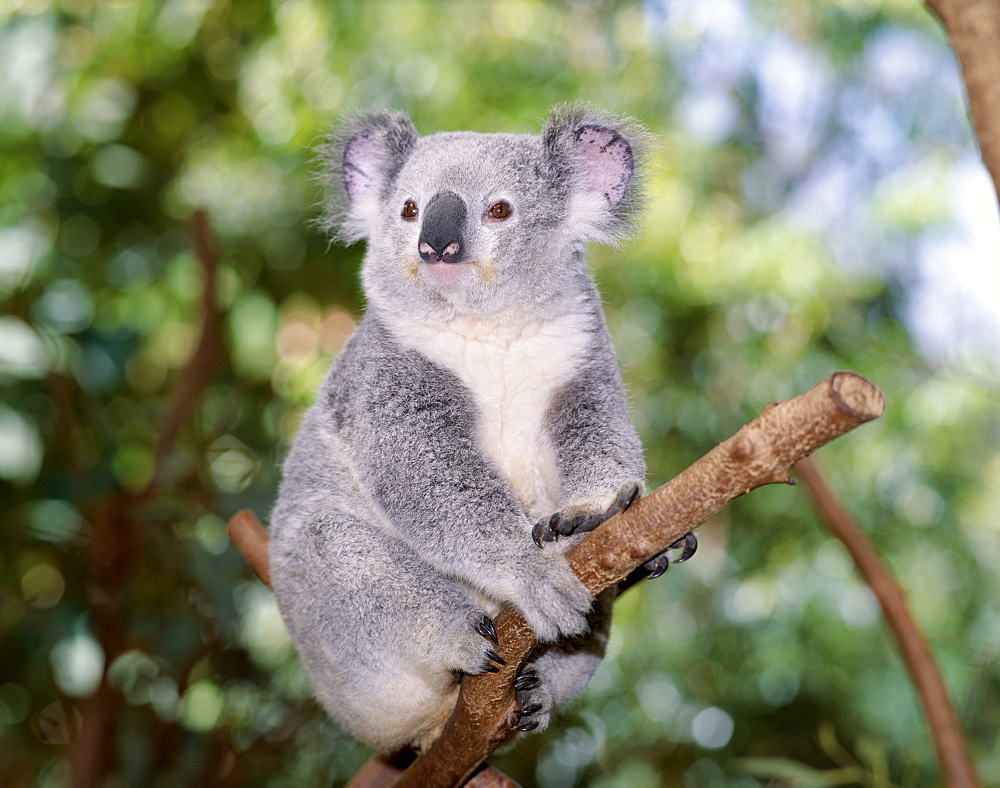 Koala bear on eucalyptus tree, Lone Pine Sanctuary, Brisbane, Queensland, Australia, Pacific