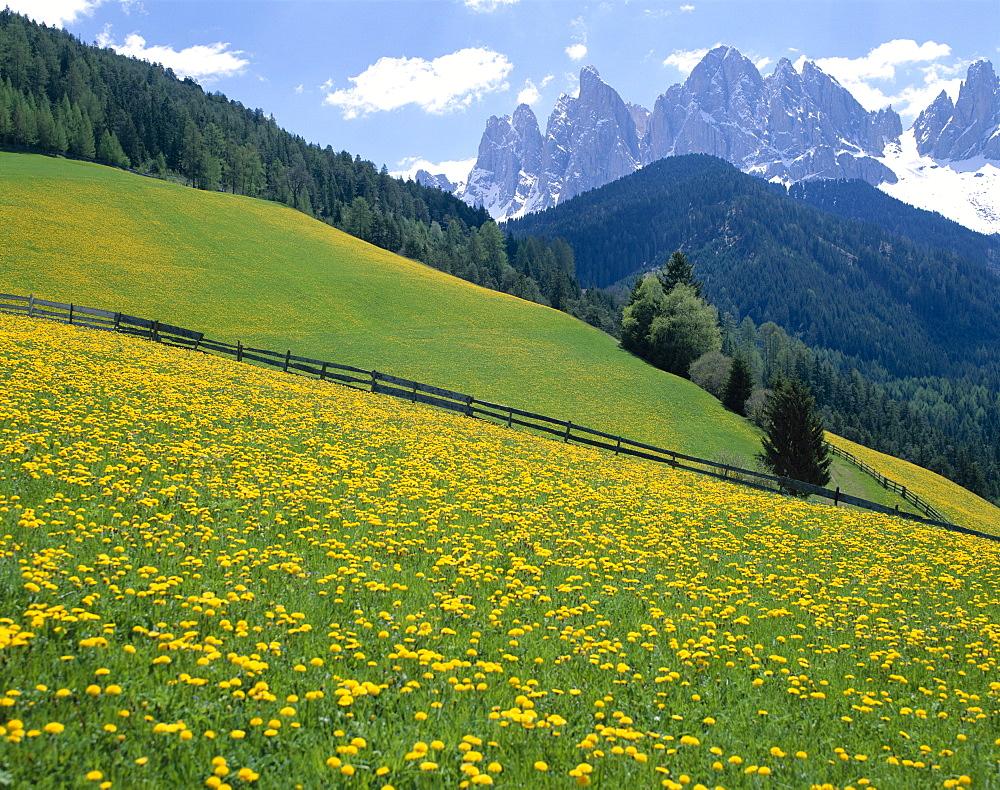 Dolomite Mountains (Dolomiti) yellow wild flowers, Villnoss, Val di Funes, Trentino, Italy, Europe
