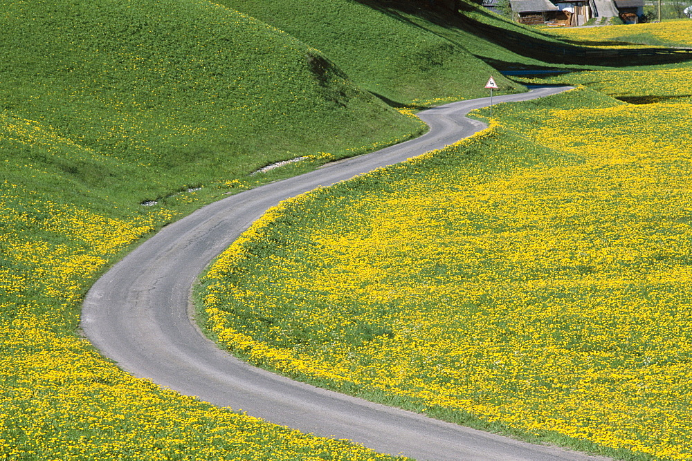 Empty winding road and yellow wild flowers, Dolomites, Italy, Europe