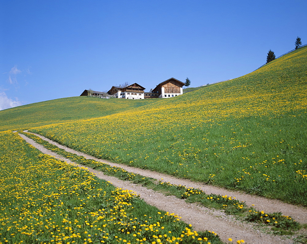 Track, yellow wild flowers and farmhouse, Dolomites, Italy, Europe