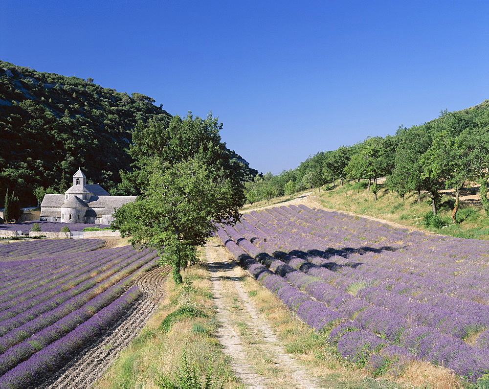 Lavender fields and Senaque Abbey, France, Europe
