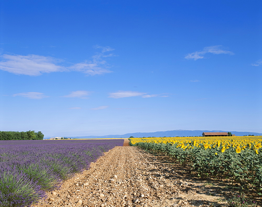 Rural track and lavender and sunflower fields, France, Europe