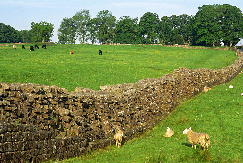 Hadrians Wall at Birdoswald, UNESCO World Heritage Site, Northumberland, England, United Kingdom, Europe