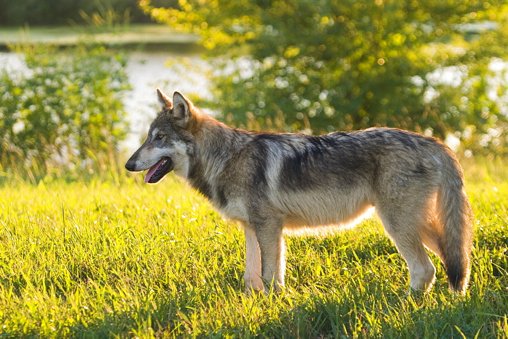 Grey wolf, near Layfayette, Indiana, United States of America, North America