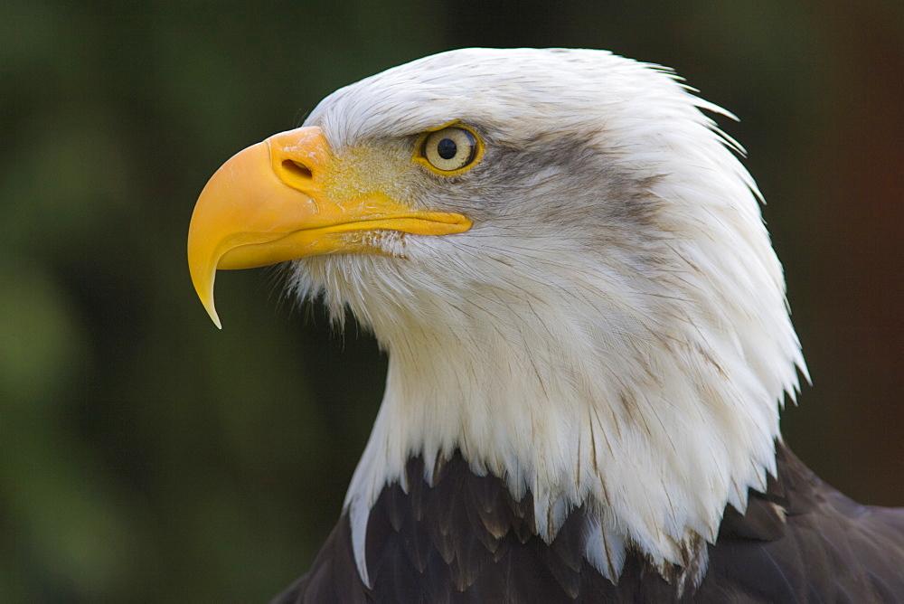 Bald eagle in captivity, Hampshire, England, United Kingdom, Europe - 836-16