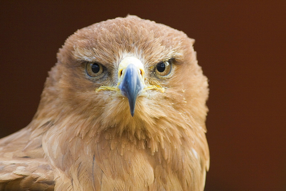 Tawny eagle (Aquila rapax) stare, controlled conditions, United Kingdom, Europe