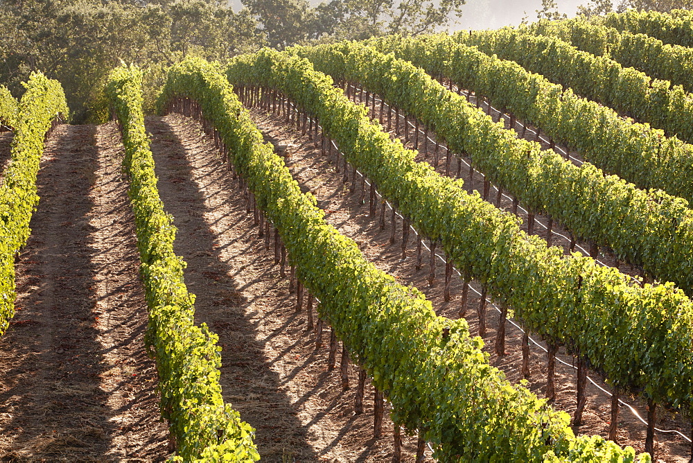 Rows of lush vineyards on a hillside, Napa Valley, California, United States of America, North America  - 839-61