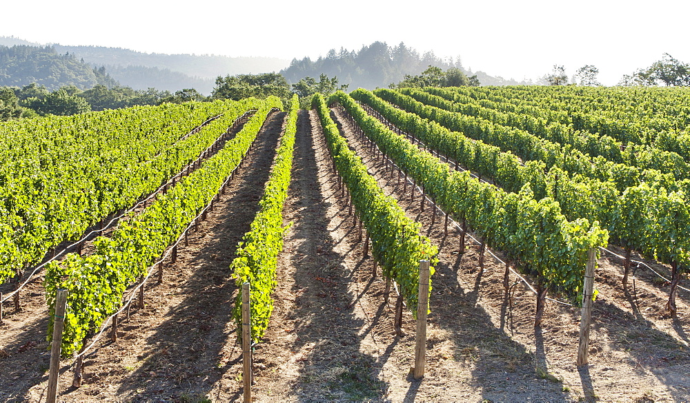 Rows of lush vineyards on a hillside, Napa Valley, California, United States of America, North America  - 839-63