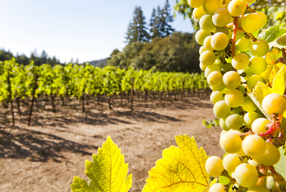 Close-up of grapes in a vineyard, Napa Valley, California, United States of America, North America  - 839-64